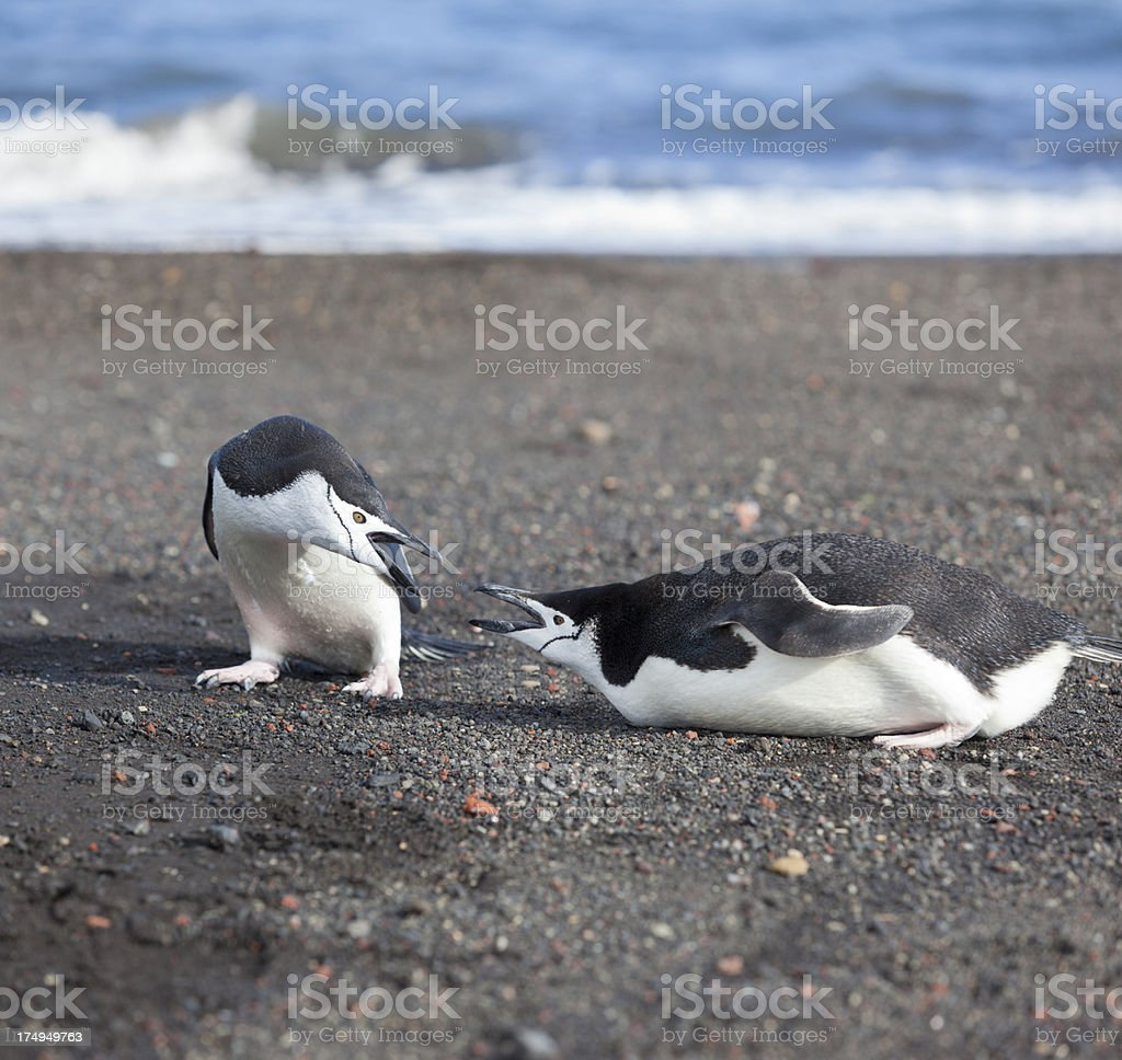 Antarctica chinstrap penguin fighting at beach stock photo