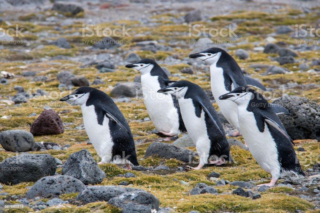 Antarctica: Chinstrap Penguins on Penguin Island stock photo