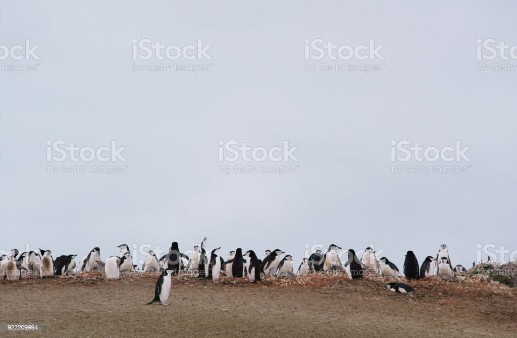 Antarctica: Chinstrap Penguins on Penguin Island stock photo