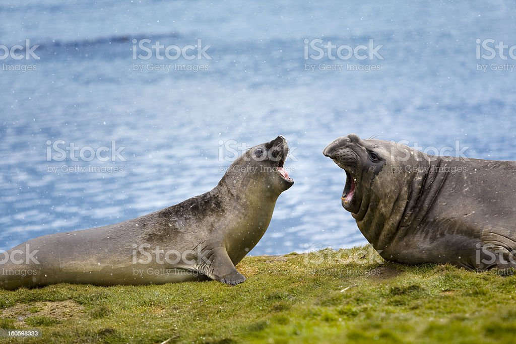 Antarctica Elephant seal on South Georgia stock photo