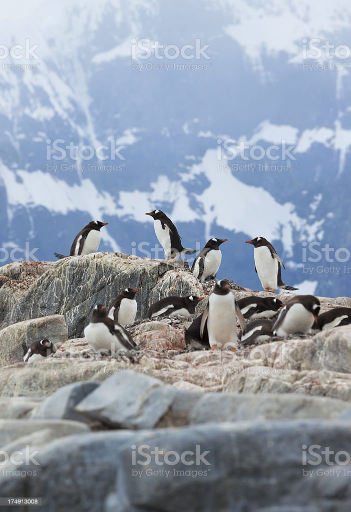 Antarctica gentoo penguin colony royalty-free stock photo