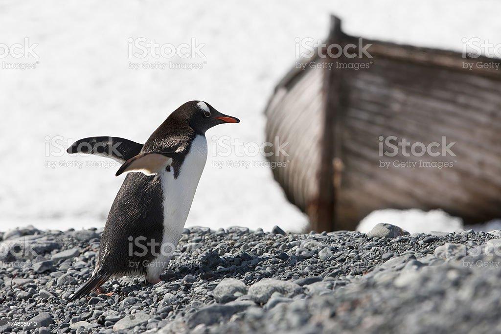 Antarctica gentoo penguin on Halfmoon Island royalty-free stock photo