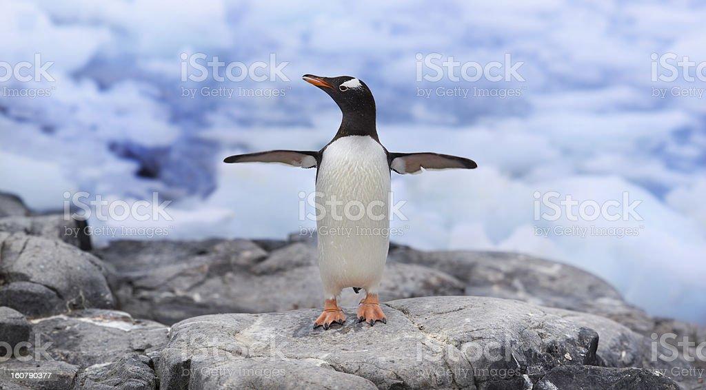 Antarctica gentoo penguin royalty-free stock photo