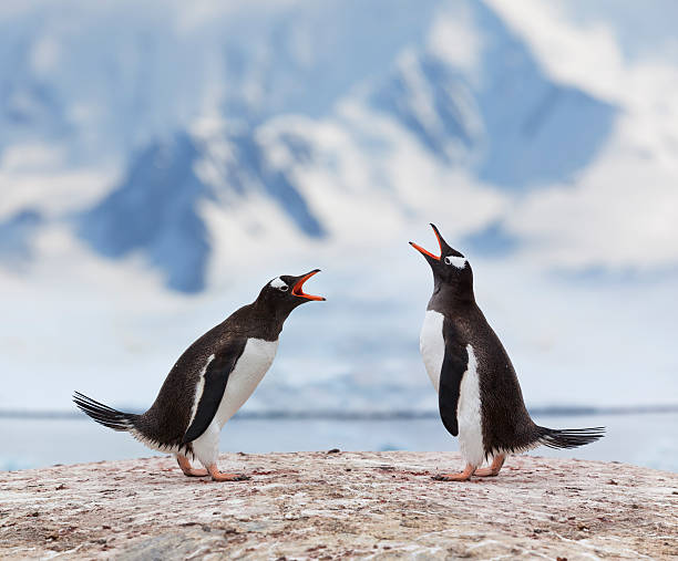 Antarctica gentoo penguins fighting stock photo