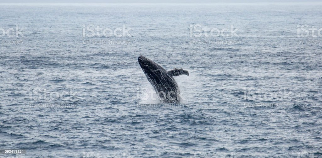 Antarctica: Humpback Whale off of Livingstone Island stock photo