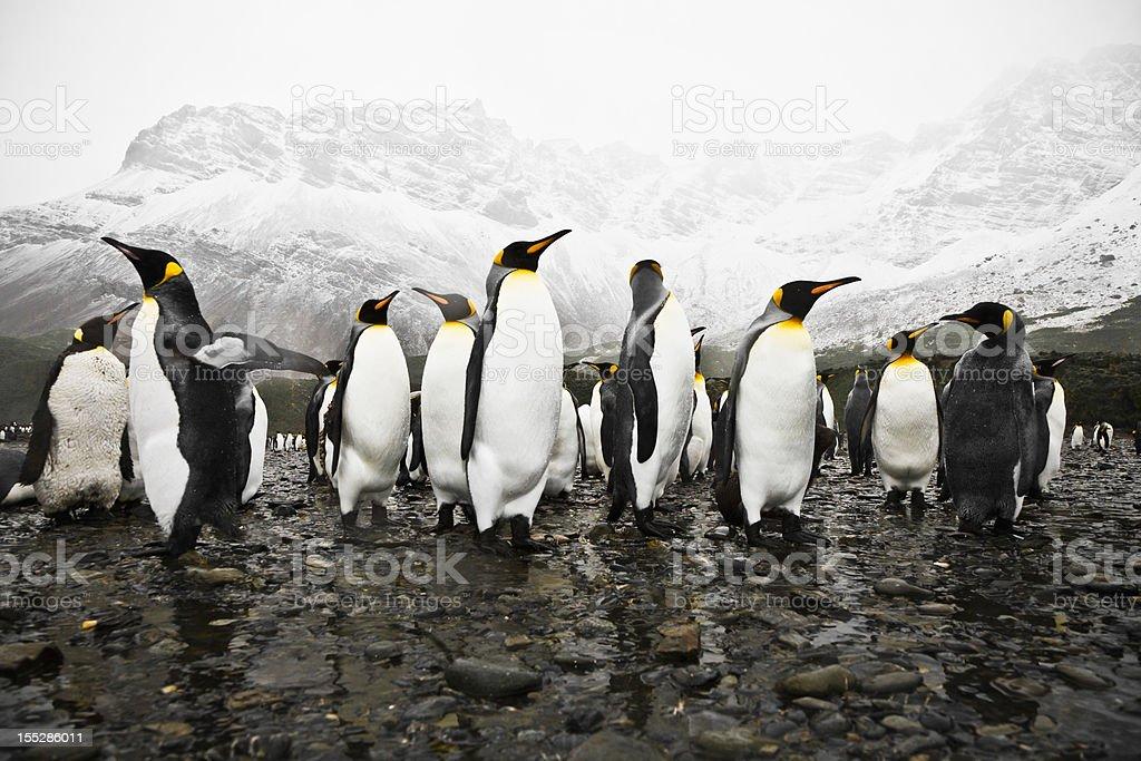Antarctica King Penguins South Georgia Polar Circle stock photo