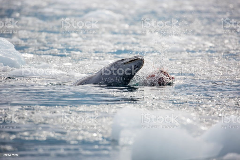 Antarctica Leopard Seal Making A Kill Stock Photo & More Pictures of ...