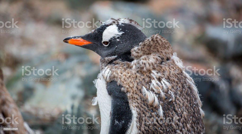 Antarctica: Molting Gentoo Penguin stock photo