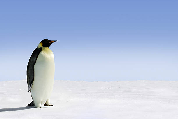 Antarctica Penguin in Antarctica on a sunny day emperor penguin stock pictures, royalty-free photos & images