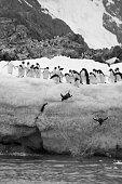 Penguins belly flopping off an ice shelf on mainland Antarctica