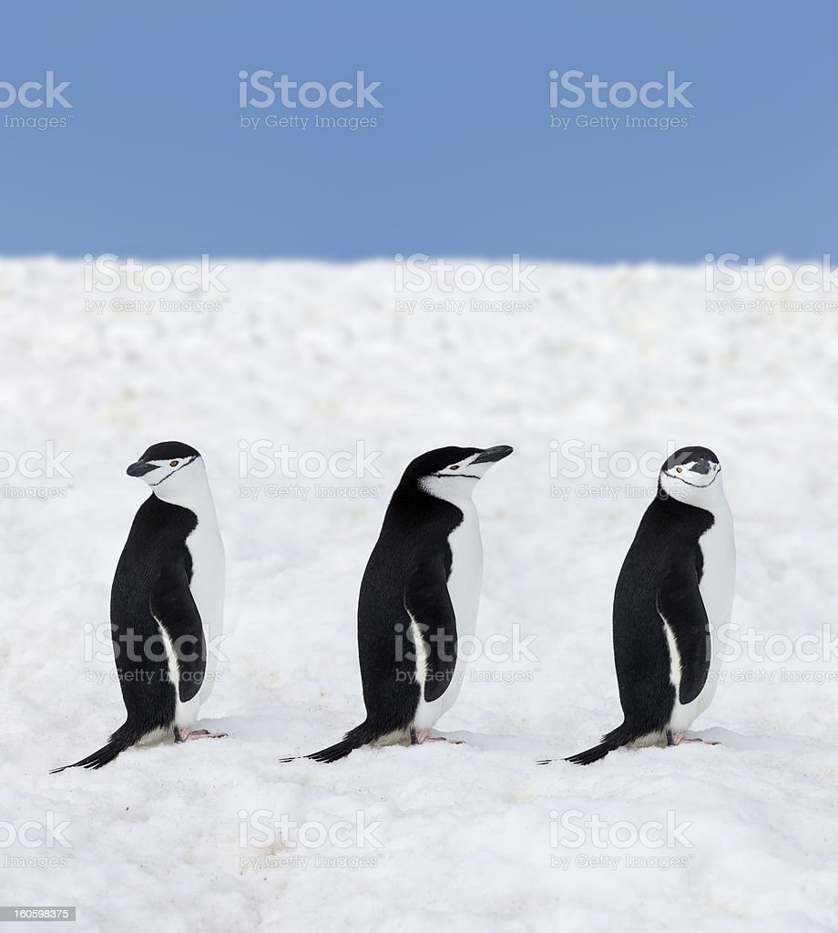Antarctica three chinstrap penguins royalty-free stock photo