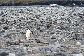 Adelie Penguin walking down the rocky beach alone, South Shetland Islands, Antarctica