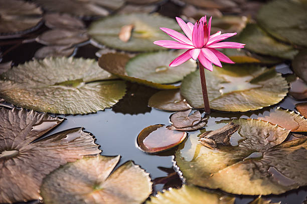 Antares Night Blooming Water Lily with toad stock photo