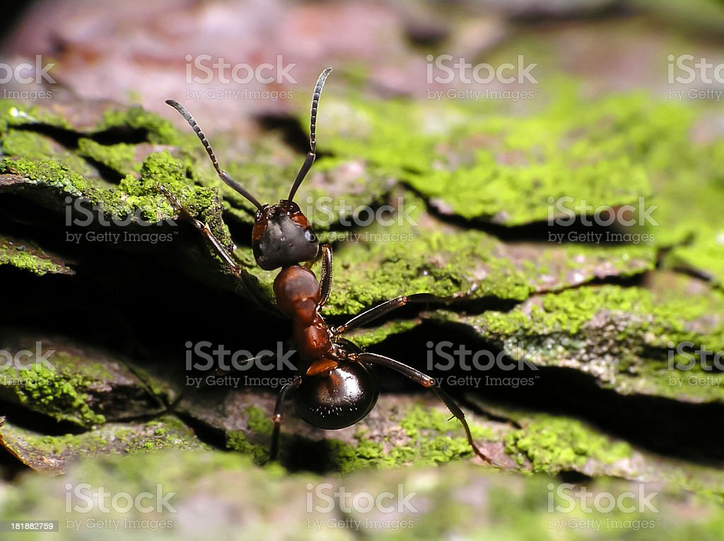 Ant-Close up stock photo