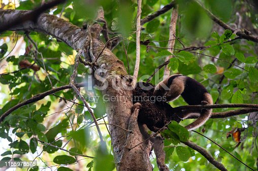 Anteater eating termites in Corcovado National Park in the Osa Peninsula, Costa Rica