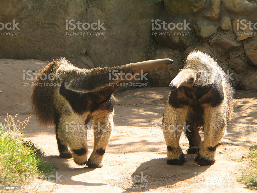 Anteater royalty-free stock photo