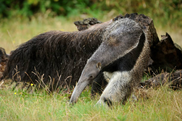 anteater close-up of a giant anteater (myrmecophaga tridactyla) Giant Anteater stock pictures, royalty-free photos & images