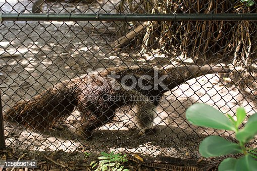 Anteater is a common name for the four extant mammal species of the suborder Vermilingua (meaning