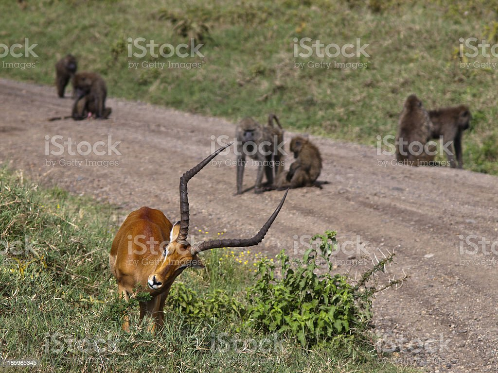 Antelope eat the grass on a background of monkeys royalty-free stock photo