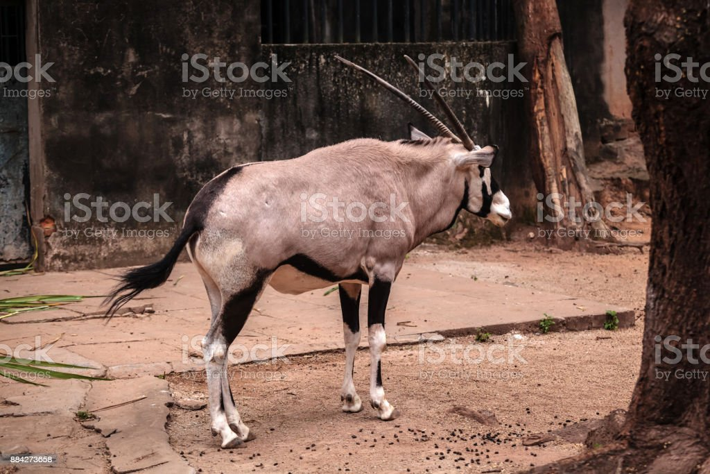 antelope; gazelle stock photo