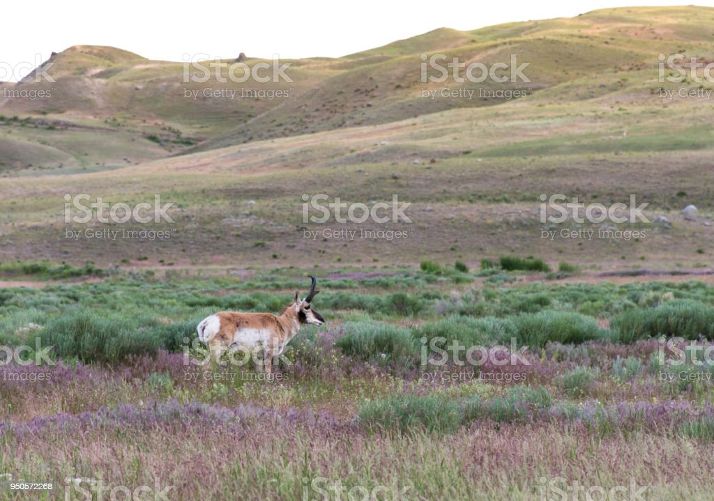 Antelope in a Meadow stock photo