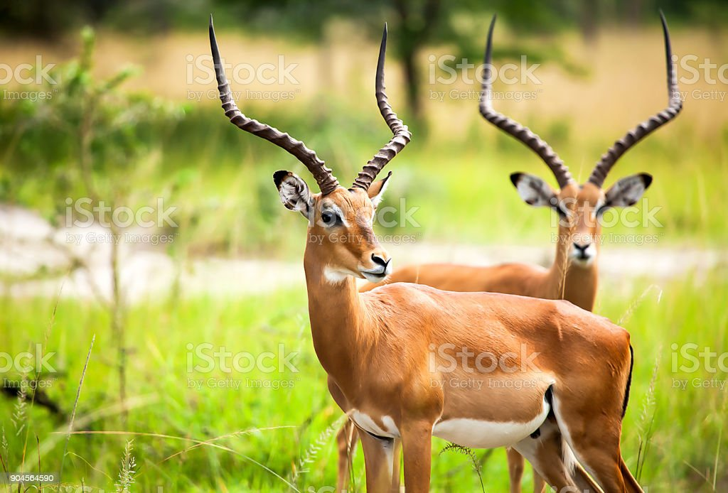 Antelope in nature stock photo