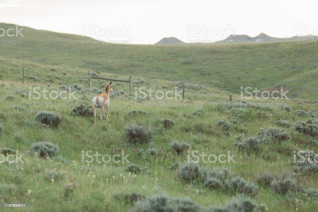 Antelope In Prarie Scene In Gillette Wyoming Stock Photo