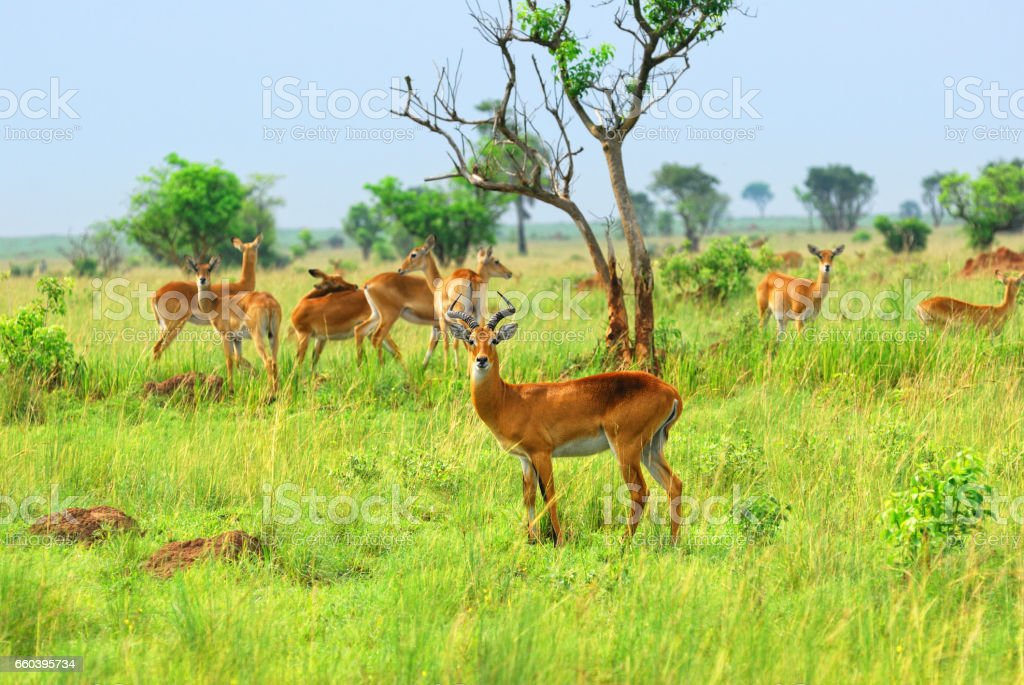 Antelope in the african savannah stock photo