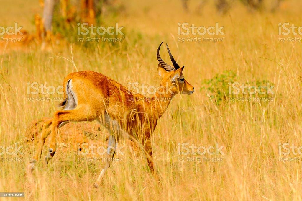 Antelope in Uganda, Africa stock photo