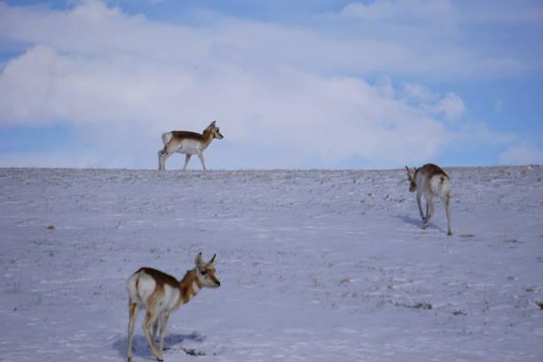 Antelope in Wyoming Snow stock photo