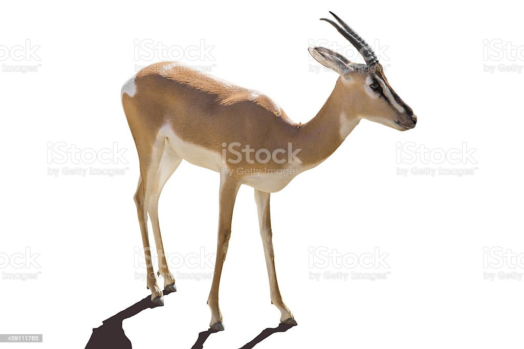 Antelope, isolated on white stock photo