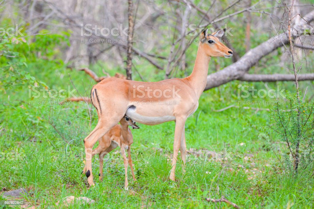 Antelope, mother and baby stock photo