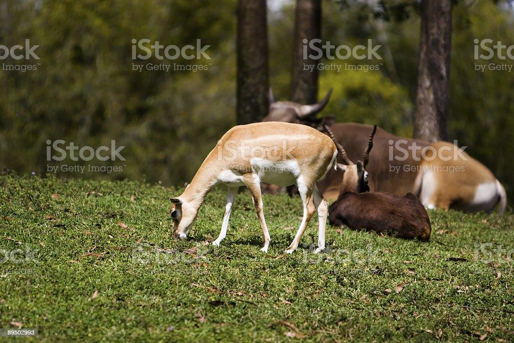 Antilope photo libre de droits