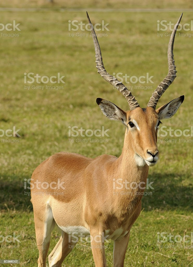 Antelope royalty-free stock photo