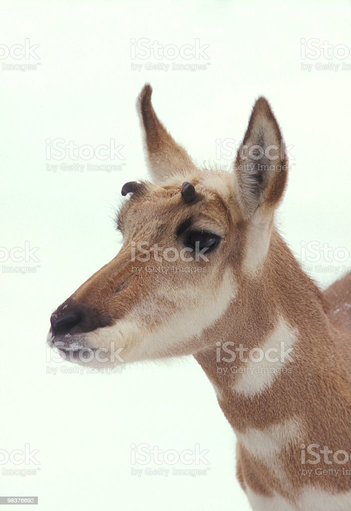 Antelope royalty-free stock photo