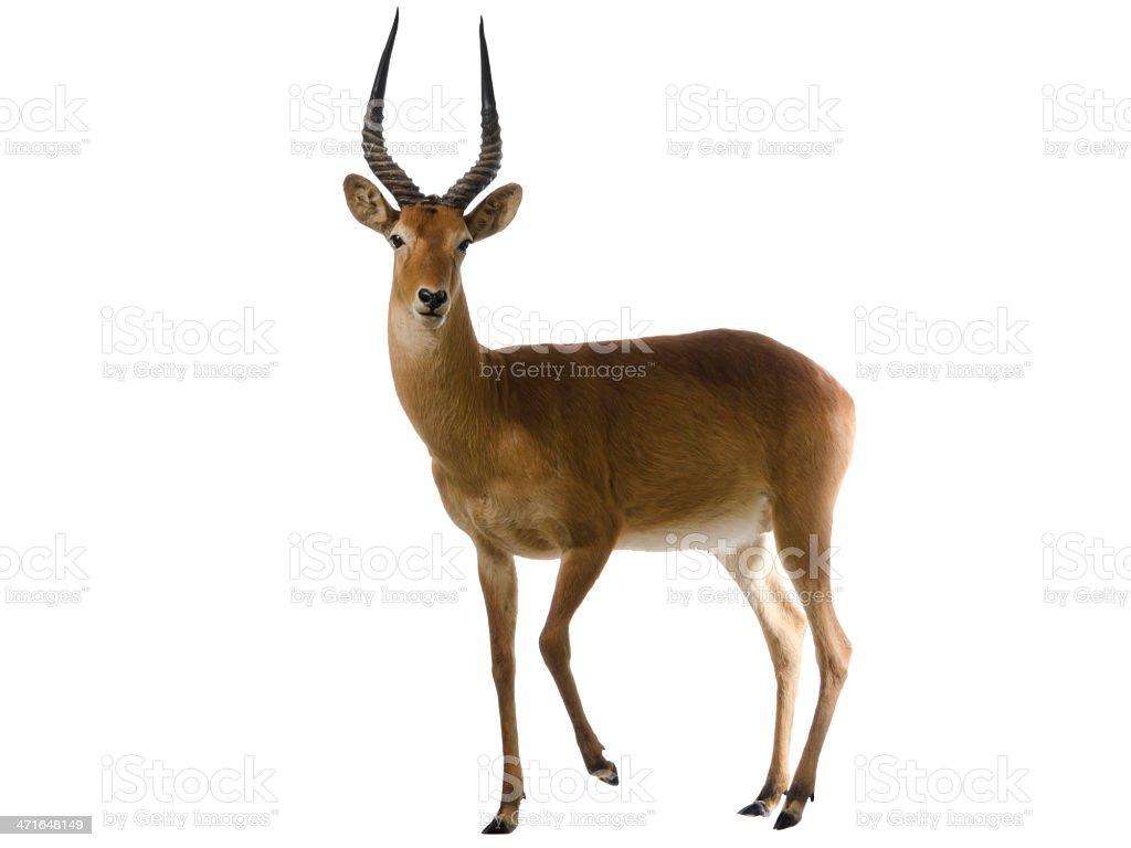 Antelope puku (Kobus vardonii), isoliert auf weiss – Foto