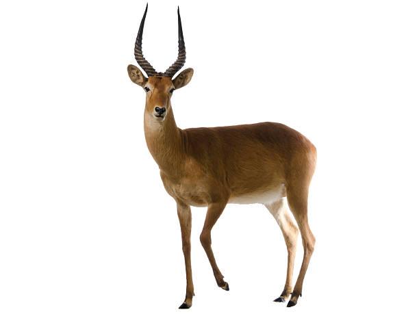 Antelope puku (Kobus vardonii) isolated on white stock photo