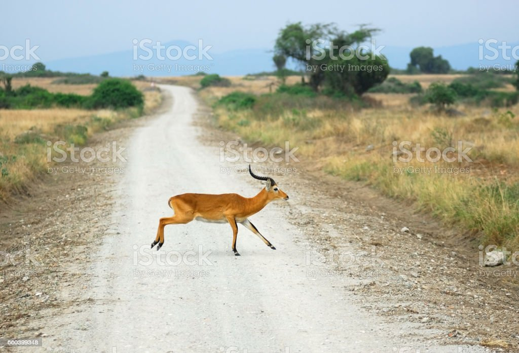 Antelope reedbuck crossing african road stock photo