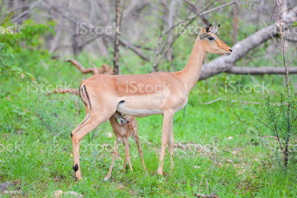 Antelope s, mother and baby stock photo
