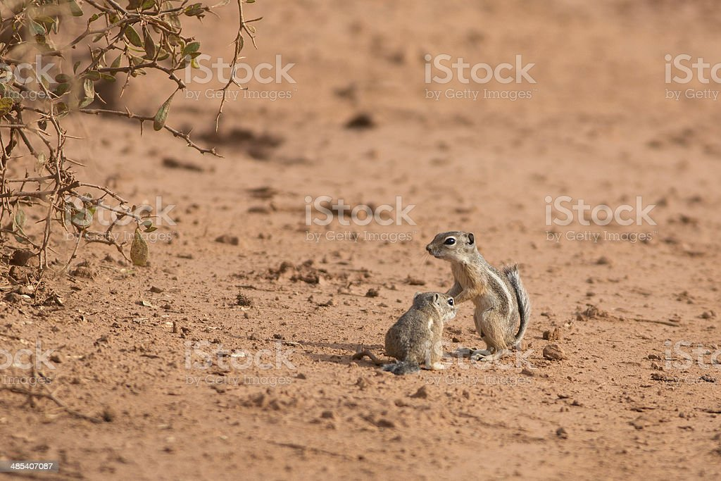 Antelope Squirrels royalty-free stock photo