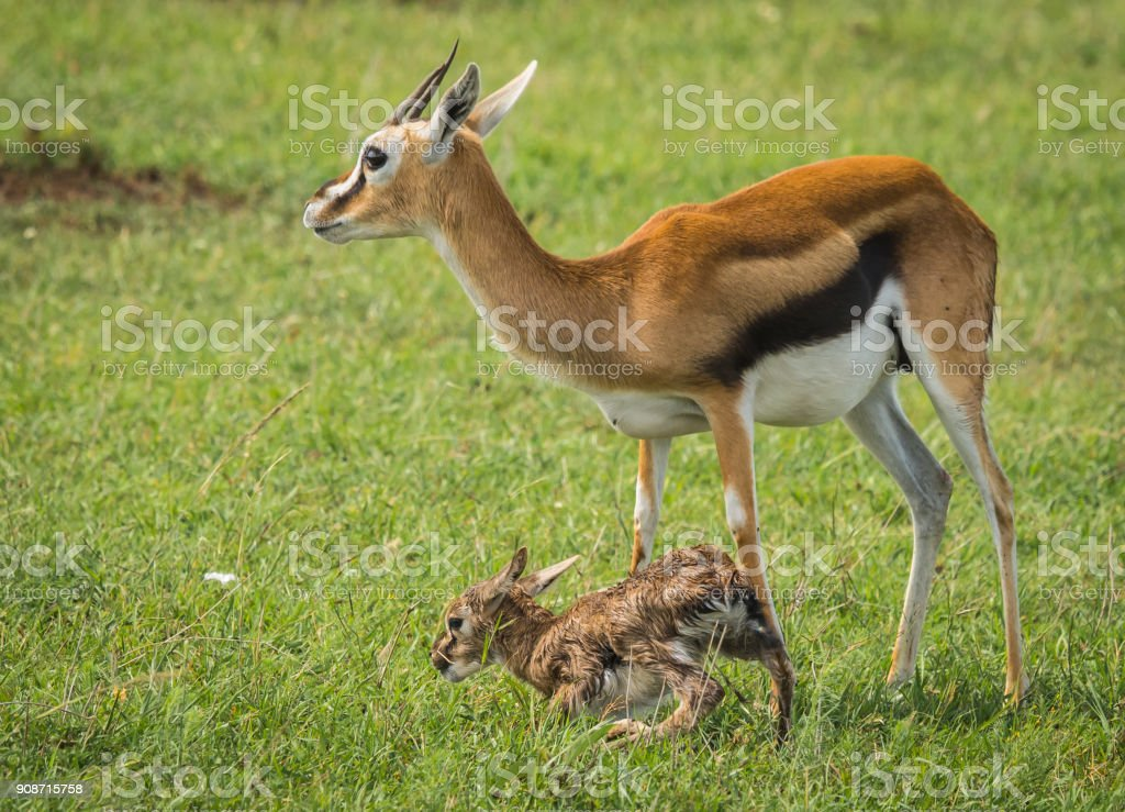 Antelope Thompson and her newborn baby in Masai Mara, Kenya stock photo