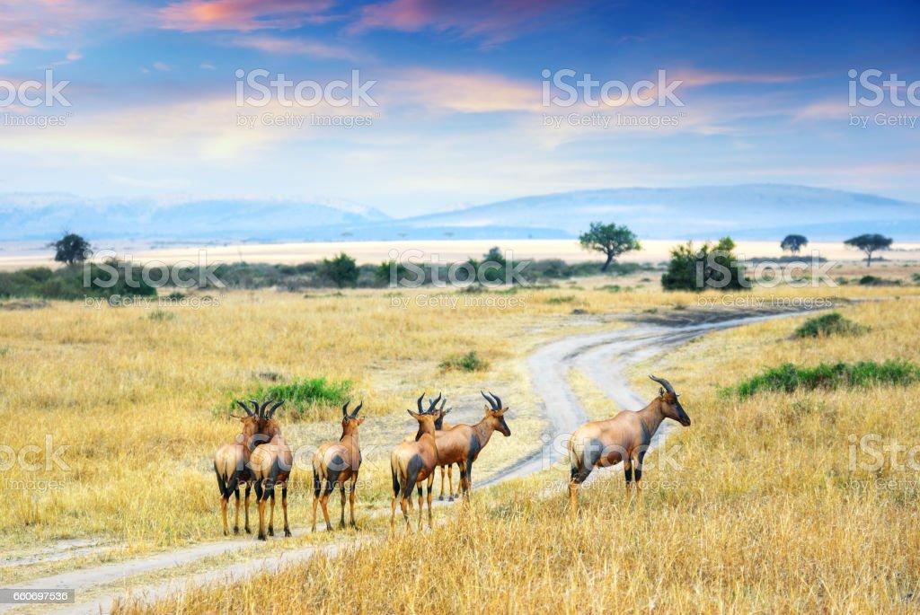 Antelope Topis (Damaliscus korrigum) stock photo