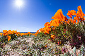 Springtime in California, thousands of flowers blooming on the hills of the Antelope Valley California Poppy Preserve