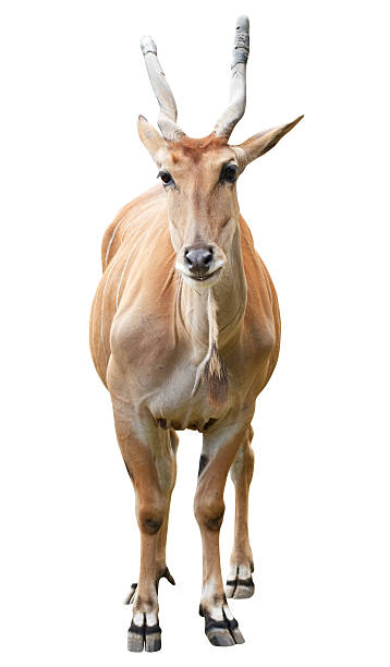 antelope with clipping path on white background - blesbok stockfoto's en -beelden