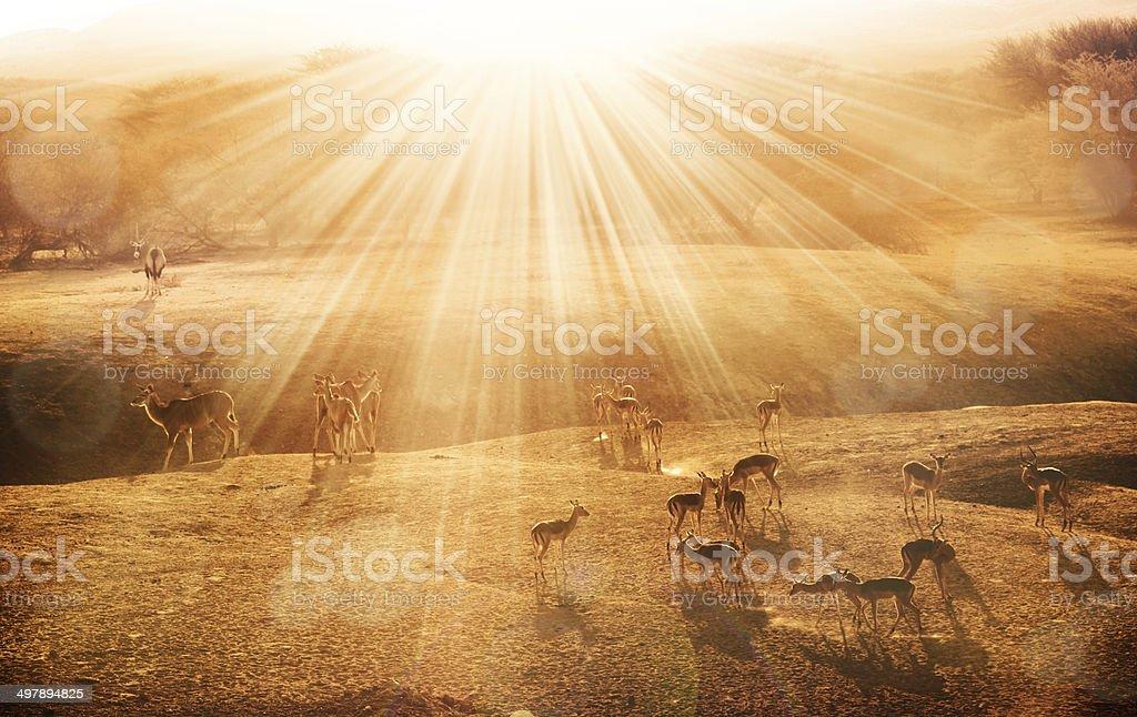 antelopes at sunrise stock photo