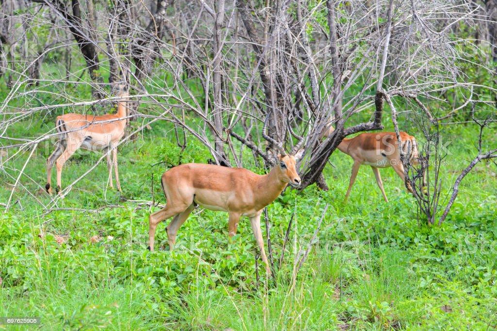 Antelopes stock photo