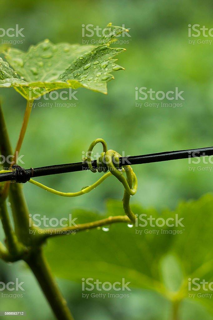 Antennae vine trailed around wire fence in drops of rain stock photo