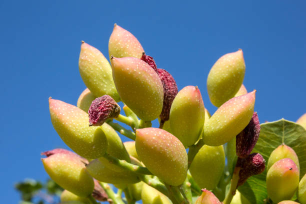 Antep pistachio on tree branch, Gaziantep, Turkey stock photo
