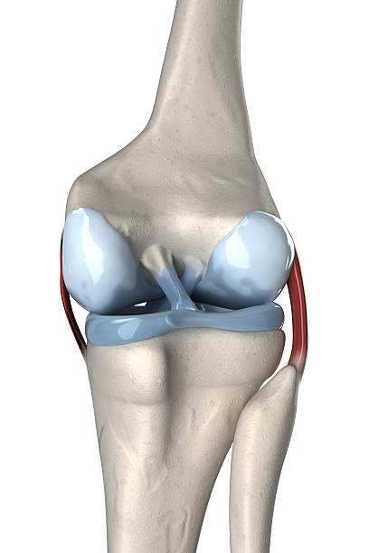 legamento crociato anteriore e posteriore di anatomia - menisco foto e immagini stock