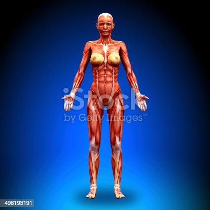 496193203istockphoto Anterior view - Female Anatomy Muscles 496193191
